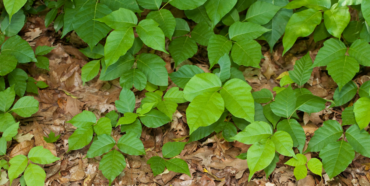Poison ivy or other poisonous plants on the forest floor